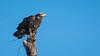 (Scott Mu/lens) Tags: bald eagle baldeagle