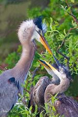 (PNWheat) Tags: chicks feeding greatblueheron waterfowlgreatblueheron nest