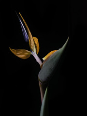 Looking Up At A Colorful Bird (Bill Gracey 17 Million Views) Tags: fleur flower flor birdofparadise nature naturalbeauty macrolens homestudio blackbackground yongnuo yongnuorf603n