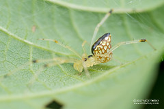 Mirror comb-footed spider (Thwaitesia sp.) - DSC_2135 (nickybay) Tags: singapore macro admiraltypark thwaitesia theridiidae combfooted mirror spider submale