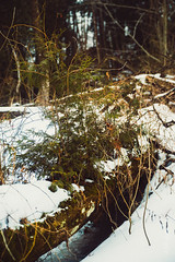 Baird Creek-12 (KLMP) Tags: redfin brown portrait fortleavenworth ks usa greenbay wi bairdcreek cofrinmemorialarboretum nature landscape winter snow ice