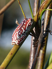 reed frog, Okavango Delta