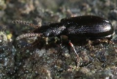 Rabocerus gabrieli salpingidae (BSCG (Badenoch and Strathspey Conservation Group)) Tags: acm fencepost february insect beetle woodlandedge