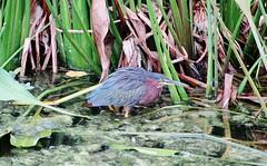 Butorides virescens --  Green Heron 8080 (Tangled Bank) Tags: wild nature natural palm beach county florida wetland wet land park area preserve butorides virescens green heron 8080 bird