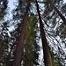 Tall Evergreens and Redwood Trees All Around (Yosemite National Park)