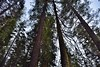 Tall Evergreens and Redwood Trees All Around (Yosemite National Park) (thor_mark ) Tags: nikond800e lookingwest day6 triptopasoroblesandyosemite yosemitenationalpark capturenx2edited colorefexpro tuolumnegrovetrail tuolumnegroveofgiantsequoias outside trees hillsideoftrees blueskieswithclouds evergreens nature talltrees talltreesallaround lookingup lookingupatsky lookingupatskythroughtrees lookingupatskythrutrees lookinguptosky tuolumnegrove project365 california unitedstates