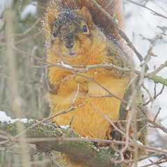 IMG_4986 (kennethkonica) Tags: nature animalplanet animal animaleyes canonpowershot canon usa america midwest indianapolis indiana indy color outdoor wildlife squirrel winter stare