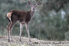 Rothirsch (Cervus elaphus) (lars.begert) Tags: cervuselaphus losescoriales reddeer spain naturepark naturpark andalusia andalusien espana spanien sierrasdeandujar andalucia ciervorojo rothirsch