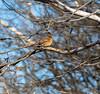 Northern Cardinal (female) (johnny4eyes1) Tags: bokeh cardinal frigid wildlife winter northerncardinal nature bird birds icy environment passerine gatewaynationalwildlifepreserve cold ice