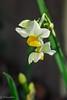 Narcissus (Yorkey&Rin) Tags: 1月 2018 em5markii flower inmygarden january japan kanagawa macro narcissus olympus olympusm60mmf28macro rin v1120014 winter マクロ 水仙 庭 冬