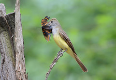 Great-crested Flycatcher (av8s) Tags: greatcrestedflycatcher flycatcher birds perchingbirds songbirds nature wildlife pennsylvania pa photography nikon d7100 sigma 120400mm