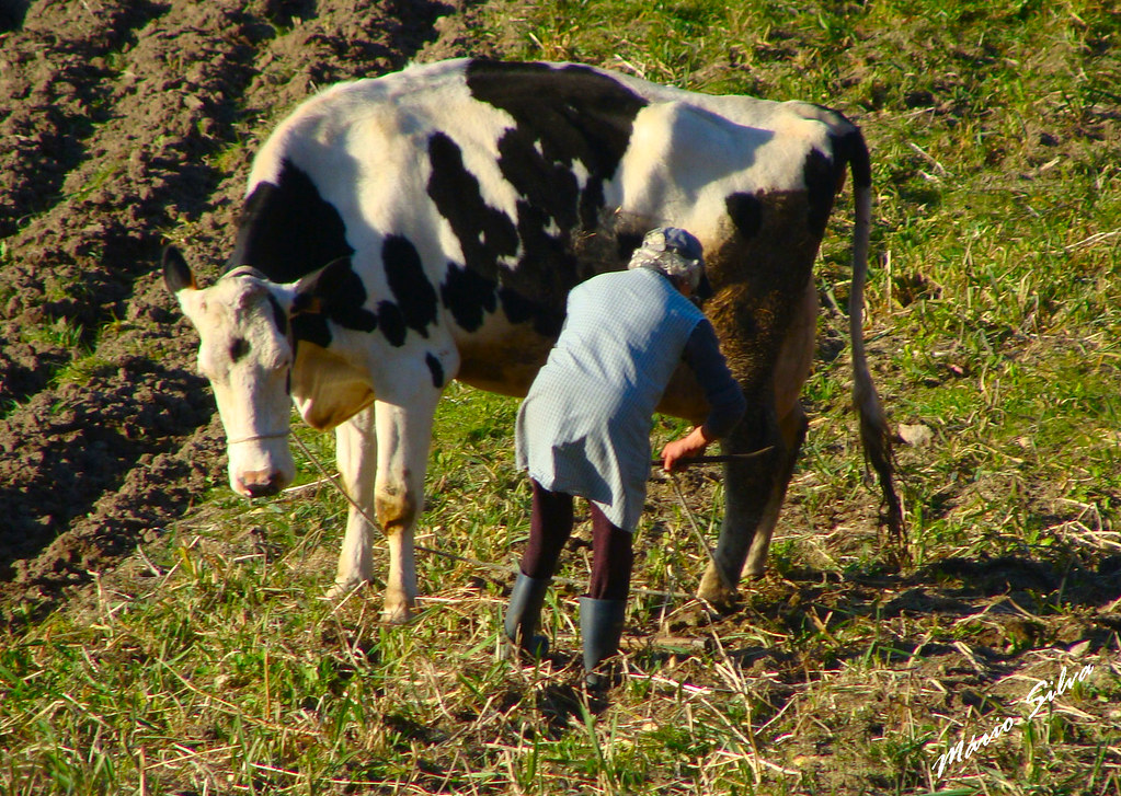 Águas Frias (Chaves) - ... tratando da vaca ...