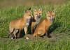 American Red Fox Pups - Vulpes vulpes fulvus (Canidae) 117v-22991 (Perk's images) Tags: americanredfox vulpesvulpesfulvus mammal carnivore carnivora nearctic alberta canada pups kits cubs