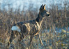 Roe deer - January dawn (Tony McLean) Tags: ©2018tonymclean tophilllow eastyorkshire naturephotography wildlifephotography nikond4 nikon500f4gvr roedeer