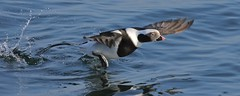 Getting Airborne is a Process (Slow Turning) Tags: clangulahyemalis longtailedduck bird male water lake splash takeoff wingsspread southernontario canada
