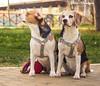 Beagles: Maya & Zoe (Attilio Iacobone) Tags: beagle dog animal street park city happy colours nature love dogpark photography photo