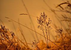NATUR (Gila98) Tags: natur elbe elbdeichhinterland pflanzen wasser winter 2018 sunset sonnenuntergang