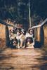 The Aussie-Crew at the band shooting - 23/365 (der_peste (on/off)) Tags: dogs pack aussies australianshepherd australianshepherds pets animals hound canine collies bordercollie sonya7ii sel2470gm