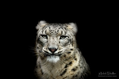 Snow leopard (Michel L'HUILLIER (Asterix_93)) Tags: snow leopard portrait face head eyes watch nose ears mouth model cute beauty nikon d810 feline