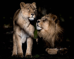 Will you be my Valentine? (ChromaphotoUK) Tags: chesterzoo pantheraleo lion lioness roar cat bigcats