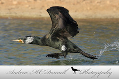Great Cormorant (EI-AMD Aviation Photography) Tags: andrew mc donnell photography birds bird wildlife uae dubai abu dhabi al qudra lakes birdphotography naturephotography uaewild nationalgeographic
