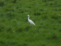 Little Egret among lush grass (Philip_Goddard) Tags: nature naturalhistory animals vertebrates birds ardeidae egretta egrettagarzetta littleegret europe unitedkingdom britain british britishisles greatbritain uk england southwestengland devon exeter riversidevalleypark riverexe river floodchannel
