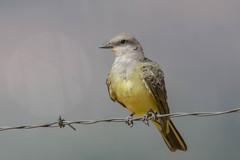 Western Kingbird (Tyrannus verticalis) (byjcb) Tags: flycatcher birds reno nevada unitedstates us