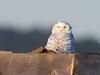Snowy Owl (Brian E Kushner) Tags: snowyowl snowy owl buboscandiacus forsythe forsythenationalwildliferefuge forsythenwr oceanville brigantine nj new jersey nikon d850 nikond850 birds bkushner wildlife animals birdwatcher ©brianekushner nikonafsnikkor800mmf56efledvrlens afs nikkor 800mm f56e fl ed vr lens