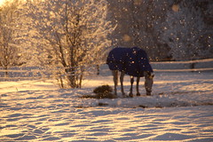 Sun shining, and snowing. (irio.jyske) Tags: naturepic naturepictures naturephotograph naturescape naturephoto nature landscapepic lanscape landscapephotograph landscape winter snow cold field snowing sun shining horse animal food hay eating birch trees forrest canonpic canonphotograph canonphoto canonpictures canonlens canoncamera canon
