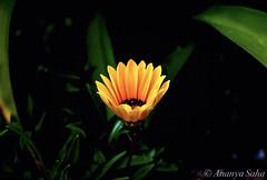 The Little Sunflower 🌻 (Ananya Saha) Tags: nikon petals leaves green black floral yellow flora flowers sunflower