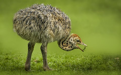 Das muss doch kleinzukriegen sein (ellen-ow) Tags: krefeld tierkinder wirbeltiere zookrefeld zoos küken laufvögel straus vögel tiere vogel bird ellenow nikond700 tierbaby