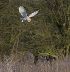 Barn Owl (KHR Images) Tags: barnowl barn owl tytoalba wild bird birdofprey flying hunting daylight nenewashes cambridgeshire eastanglia wildlife nature nikon d500 kevinrobson khrimages