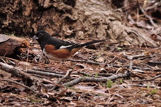 Mr. towhee out in the open
