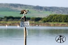 Falco Pescatore (Alessandro Rosas) Tags: alerosas stagnodimistras cabras oristano oristanese panorama sardegna sardinia falcopescatore