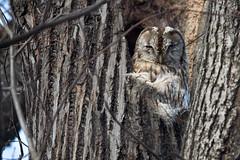 Tawny owl - Waldkauz (rengawfalo) Tags: strixaluco tawnyowl brownowl eule strix aluco kauz vogel vögel bird animal wildlife waldkauz owl tawny brown wood tree forest bear hawk