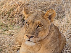 Lioness (Panthera leo) Portrait (Travel to Eat) Tags: portrait carnivorous hunter lioness nopeople reserve mammal safari predator wildlife cat lion