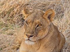 Lioness (Panthera leo) Portrait (Travel to Eat) Tags: portrait carnivorous hunter lioness nopeople reserve mammal safari predator wildlife cat lion