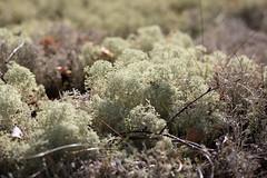 Stampmossen (Alenius) Tags: sweden swedish nature sverige natur mosse kärr strängnäs södermanland lav lavar lichens ¨swedish