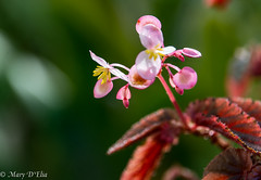 TG Feb2018 1_0050 (Mary D'Elia) Tags: florida ftlauderdale begonia blooms flowers garden plant tropical