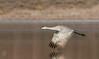 Movin' On (Joel Ingram) Tags: sandhill crane antigone canadensis bosque del apache new mexico nikon d500 sigma 500 migration