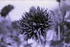 film (La fille renne) Tags: film analog 35mm lafillerenne minoltasrt303b 50mmf17 kodak kodachrome25 expiredfilm expired monochrome flowers nature bokeh