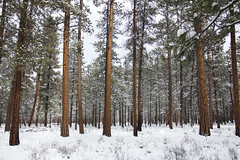 Metolius River area, red trees in snow, Deschutes National Forest. Oregon (icetsarina) Tags: snow winter oregon red metolius fresh landscape topf505074faves saariysqualitypictures