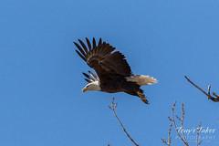 Bald Eagle departure - 3 of 5
