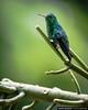 Steely-Vented Hummingbird Quindio Colombia (arainoffphoto) Tags: jardinbotanicodelquindio quindio birding steely colibri birds animals nature botanico jardin colombia green hummingbird vented emerald calarca calarcá quindío co