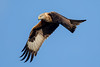 Red Kite (Simon Stobart) Tags: red kite milvus flying northengland coth5 ngc npc