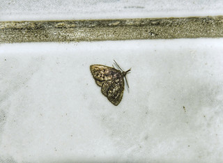 Unknown Moth - Requires an ID
