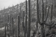 Tum01_small (patcaribou) Tags: tucson tumamochill sonorandesert fog cactii saguarocactus