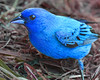 Indigo Bunting (nattybumppo*) Tags: indigo bunting bird nature wildlife south carolina blue