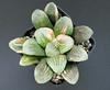 """Haworthia hybrid """"truncata x maughanii"""" Variegated, ex Japan (ex S.T.C./Netherland 80983, 22.05.2014) (igormilekhin) Tags: haworthia truncata maughanii hybrid variegata stc succulent plant leaf indoor"""