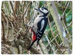 Beautiful Great Spotted woodpecker (TAKEUSTOO) Tags: beauty birds beautiful bird beaks animals allnaturesparadise anawsomeshot animal autofocus woodpecker